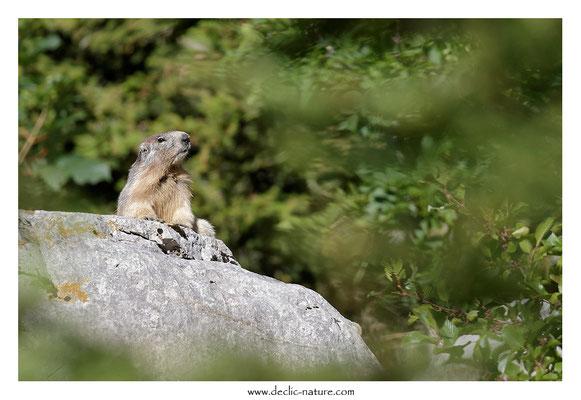 Photo Marmotte_64