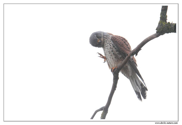 Photo 36 (Faucon crécerelle - Falco tinnunculus - Common Kestrel)