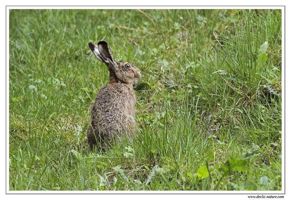 Lièvres - Lepus europaeus - Brown Hare (10)