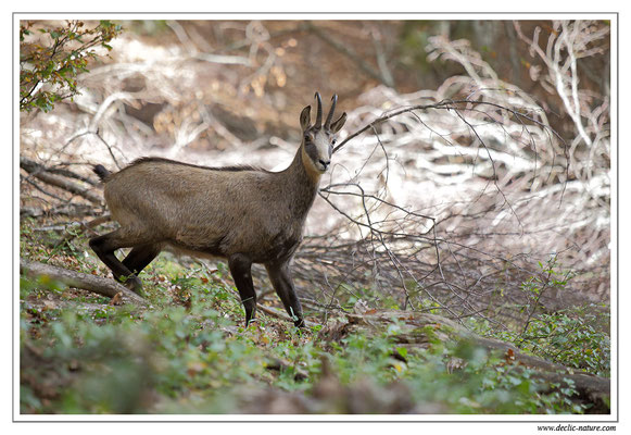 Photo Chamois_24 (Chamois - Rupicapra rupicapra )