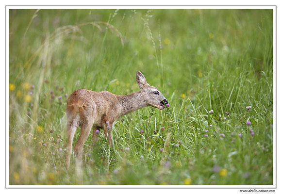 Photo Chevreuil_76 (Chevreuil - Capreolus capreolus - Roe Deer)