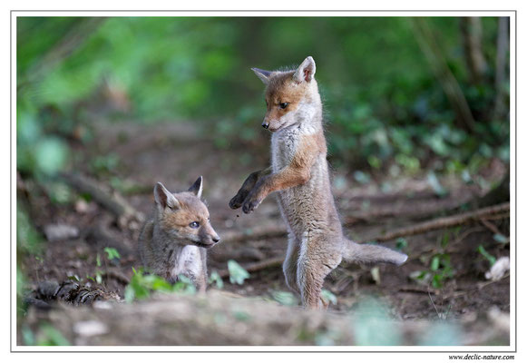 Photo Renard_126 (Renard roux -Vulpes vulpes - Red Fox)