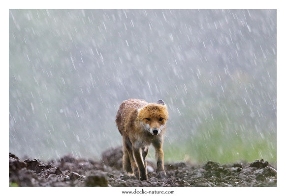 Photo Renard_176 (Renard roux -Vulpes vulpes - Red Fox)