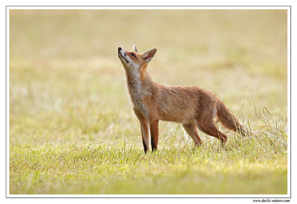 Photo Renard_100 (Renard roux -Vulpes vulpes - Red Fox)