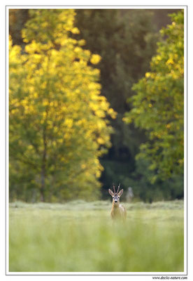 Photo Chevreuil_79 (Chevreuil - Capreolus capreolus - Roe Deer)