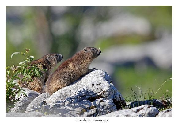 Photo Marmotte_58