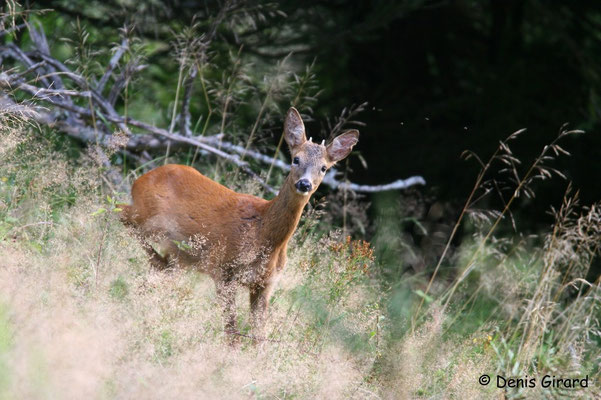 Photo Chevreuil_25 (Chevreuil - Capreolus capreolus - Roe Deer)