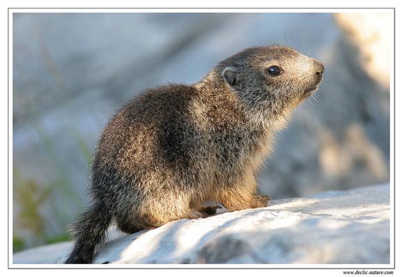 Photo Marmotte_M20