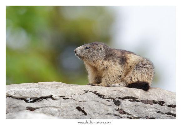 Photo Marmotte_44