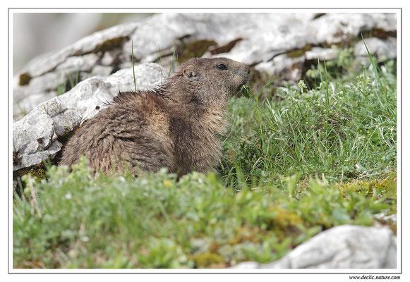 Photo Marmotte_19
