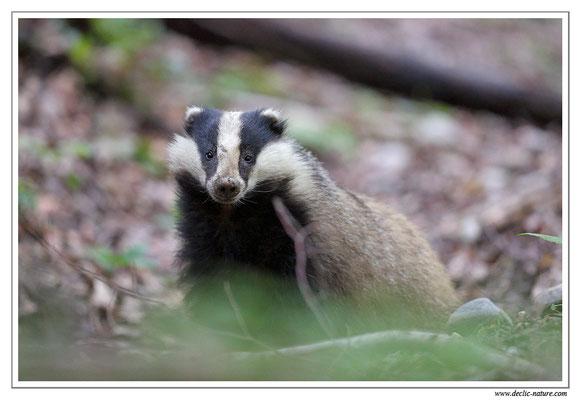 Photo_Blaireau_42 (Blaireaux - Meles meles - Eurasian Badger)