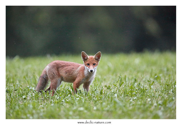 Photo Renard_154 (Renard roux -Vulpes vulpes - Red Fox)