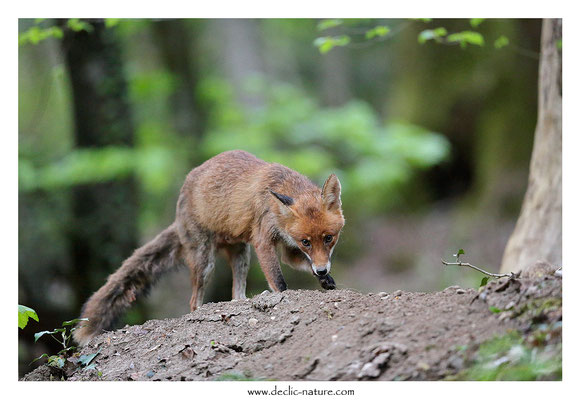 Photo Renard_185 (Renard roux -Vulpes vulpes - Red Fox)