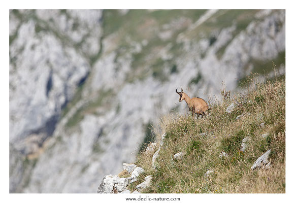 Photo Chamois_36 (Chamois - Rupicapra rupicapra )