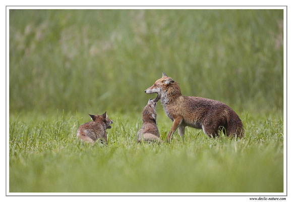 Photo Renard_56 (Renard roux -Vulpes vulpes - Red Fox)
