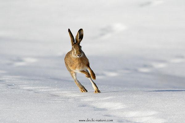 Lièvres - Lepus europaeus - Brown Hare (18)