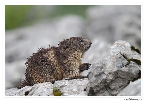 Photo Marmotte_20