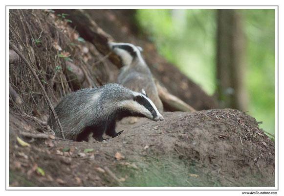Photo_Blaireau_12 (Blaireaux - Meles meles - Eurasian Badger)