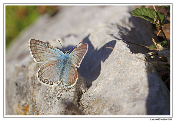 Bleu nacré - Polyommatus coridon (1)