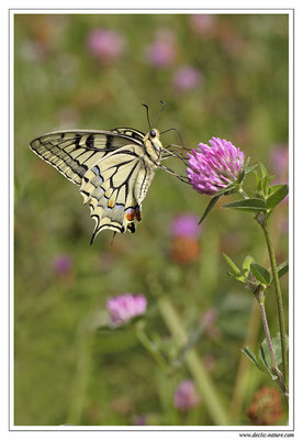 Machaon - Papilio machaon (10)