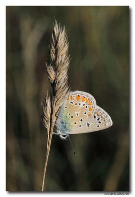 Azuré commun - Polyommatus icarus (3)