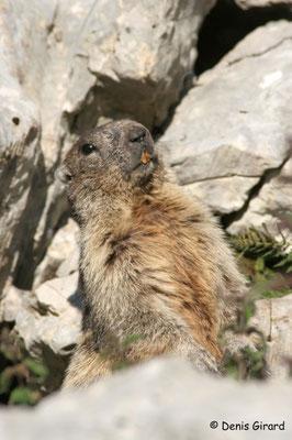 Photo Marmotte_4