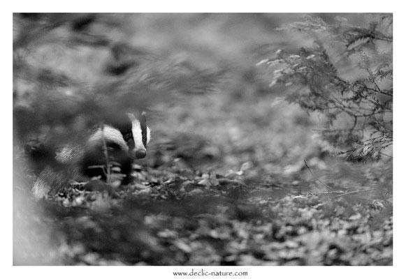 Photo_Blaireau_55 (Blaireaux - Meles meles - Eurasian Badger)