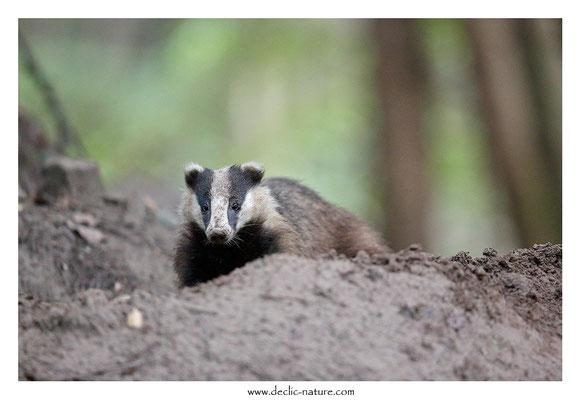 Photo_Blaireau_52 (Blaireaux - Meles meles - Eurasian Badger)