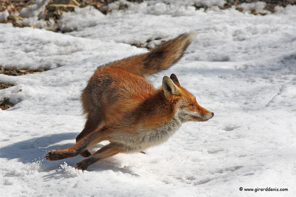 Photo Renard_9 (Renard roux -Vulpes vulpes - Red Fox)