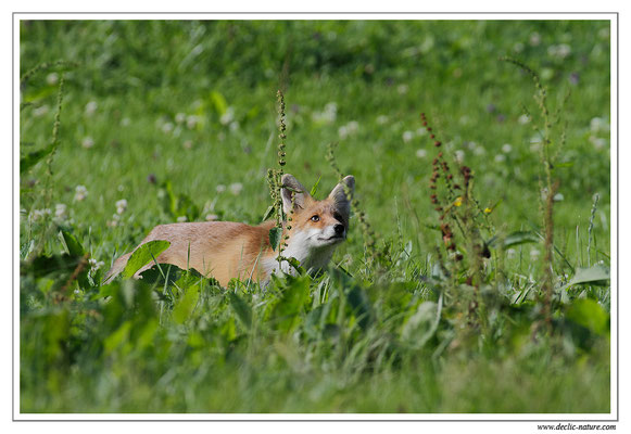 Photo Renard_41 (Renard roux -Vulpes vulpes - Red Fox)