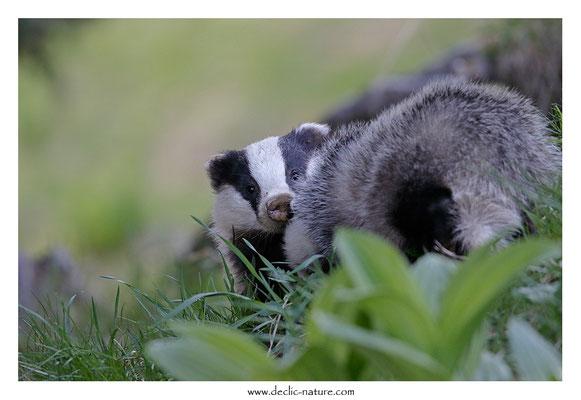 Photo_Blaireau_61 (Blaireaux - Meles meles - Eurasian Badger)