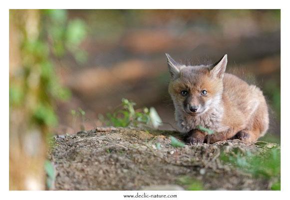 Photo Renard_117 (Renard roux -Vulpes vulpes - Red Fox)