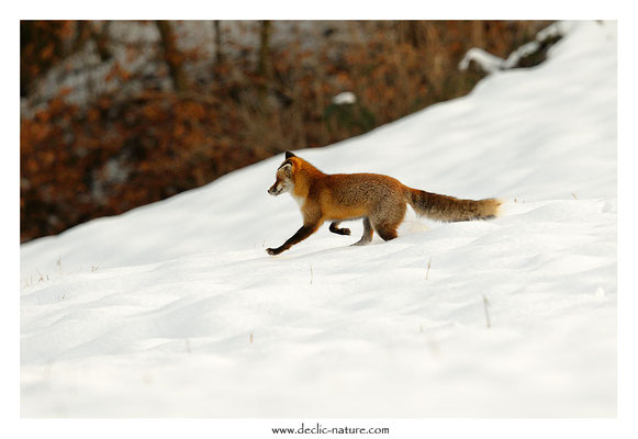 Photo Renard_166 (Renard roux -Vulpes vulpes - Red Fox)