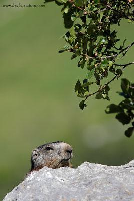 Photo Marmotte_66