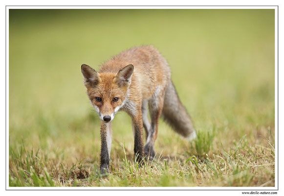 Photo Renard_78 (Renard roux -Vulpes vulpes - Red Fox)