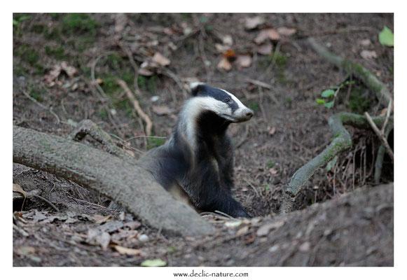 Photo_Blaireau_68 (Blaireaux - Meles meles - Eurasian Badger)