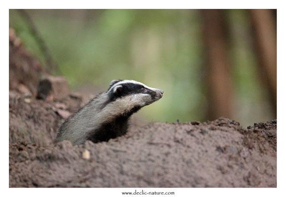 Photo_Blaireau_53 (Blaireaux - Meles meles - Eurasian Badger)