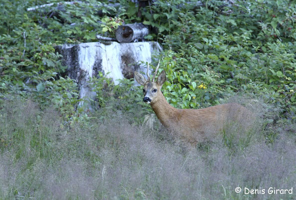 Photo Chevreuil_35 (Chevreuil - Capreolus capreolus - Roe Deer)