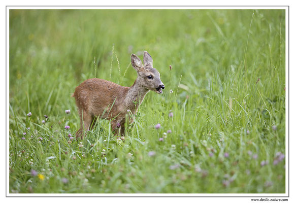 Photo Chevreuil_74 (Chevreuil - Capreolus capreolus - Roe Deer)