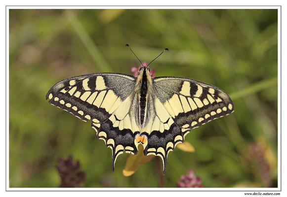 Machaon - Papilio machaon (7)