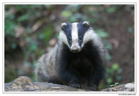 Photo_Blaireau_27 (Blaireaux - Meles meles - Eurasian Badger)