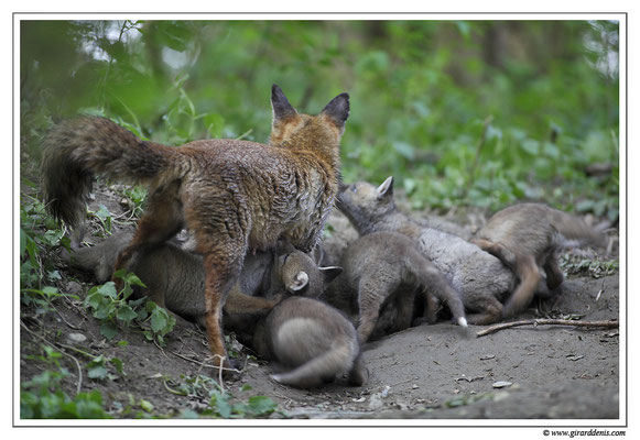 Photo Renard_18 (Renard roux -Vulpes vulpes - Red Fox)