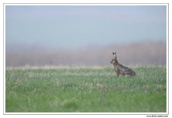 Lièvres - Lepus europaeus - Brown Hare (13)