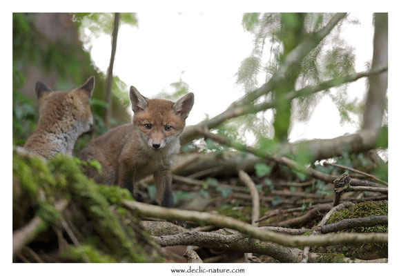 Photo Renard_134 (Renard roux -Vulpes vulpes - Red Fox)