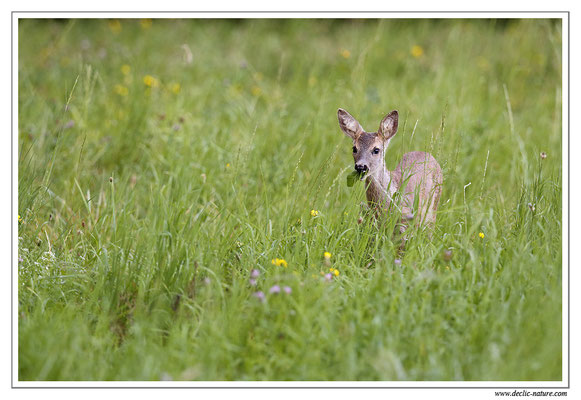 Photo Chevreuil_73 (Chevreuil - Capreolus capreolus - Roe Deer)