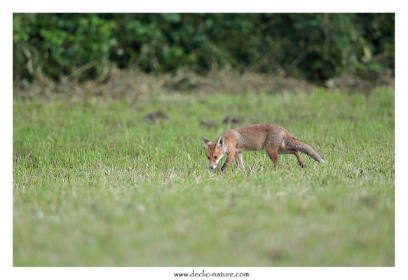 Photo Renard_153 (Renard roux -Vulpes vulpes - Red Fox)