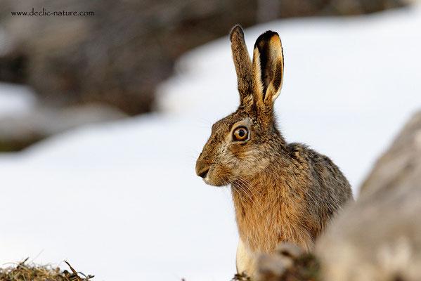 Lièvres - Lepus europaeus - Brown Hare (24)