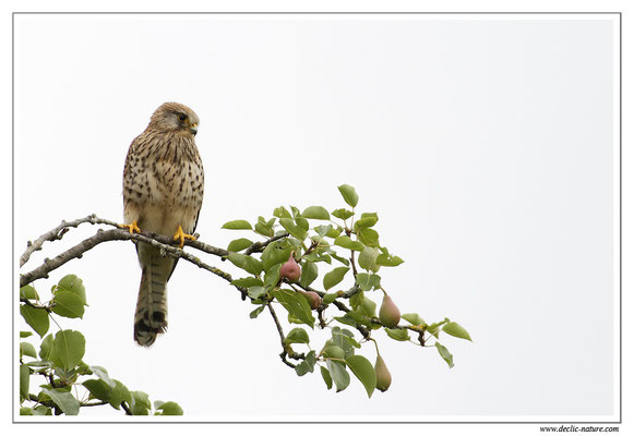 Photo 27 (Faucon crécerelle - Falco tinnunculus - Common Kestrel)