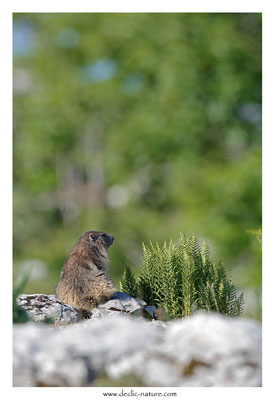 Photo Marmotte_60
