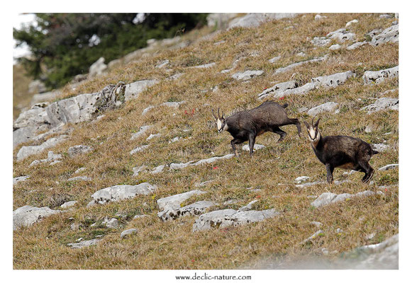 Photo Chamois_25 (Chamois - Rupicapra rupicapra )